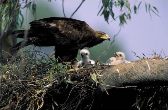 Сур орел (Aquila chrysaetos)
